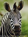 was mister ed a zebra